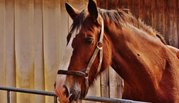 Un vieux cheval connaît son chemin