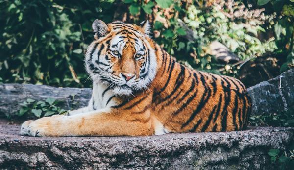 Il existe de nombreuses expressions chinoises qui font référence au tigre, 虎 (prononcé hǔ). (Image : Reurinkjan via Wikimedia / CC BY 2.0)