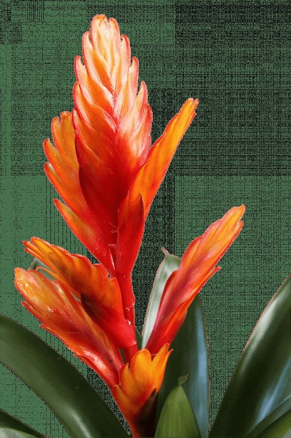 S'ilvous arrive de brûler des bougies à la paraffine à la maison, vous devriez nécessairementavoir cette plante. (Image :Hans Benn/Pixabay)