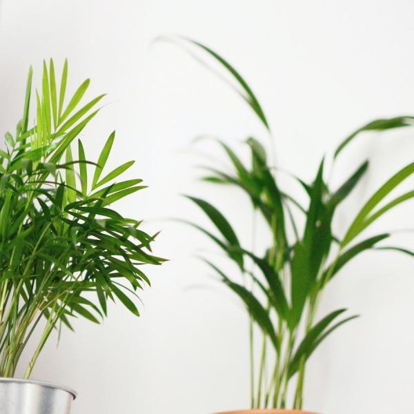 Le palmier bambou agit comme un humidificateur naturel.(Image :Martha Badzińskaprovenant /Pexels)