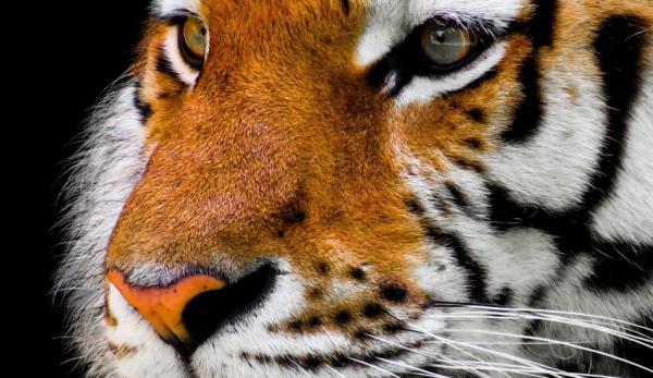 Au bout d'un certain temps, un tigre est soudainement apparu. (Image : pixabay / CC0 1.0)