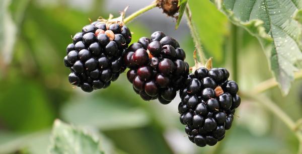 Les mûres ont un goût acidulé et sucré et contiennent des niveaux élevés de composés nutritifs. (Image: Pixel2013 / Pixabay)