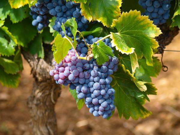 Raisins concord suspendus à une vigne dans un vignoble. (Image: Mbc-2016 / Pixabay)