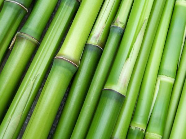 Le bambou est la plante la plus grande de la famille des graminées et est connu pour ses nombreuses propriétés pharmacologiques. (Image : Clarabsp / Pixabay)