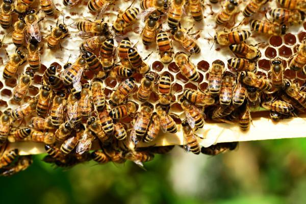 Aux États-Unis, les colonies d'abeilles domestiques sont expédiées dans tout le pays tout au long de l'année pour polliniser nos cultures alimentaires. (Image : Capture d'écran / YouTube)