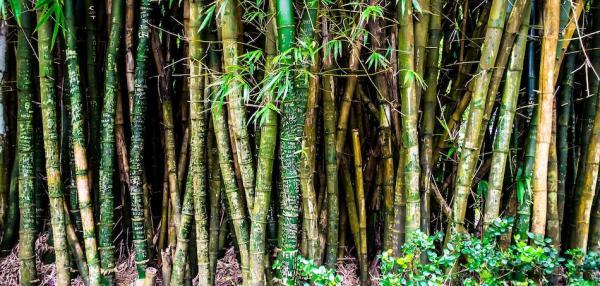 Le gouvernement ougandais utilise le bambou dans le pays pour lutter contre la déforestation. (Pixabay)