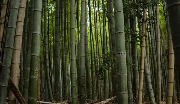 L'administration ougandaise a dévoilé un ambitieux projet décennal visant à planter environ 375 000 hectares de bambous dans le pays. (Image: via pixabay / CC0 1.0)