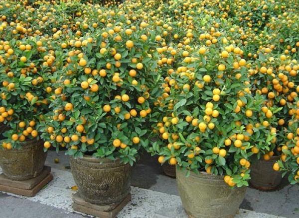 Kumquat. (Vision Times)