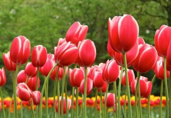 Tulipes. (Vision Times)