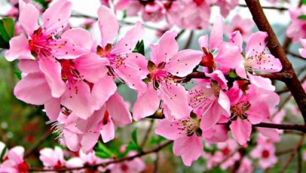 Les fleurs de pêcher. (Vision Times)