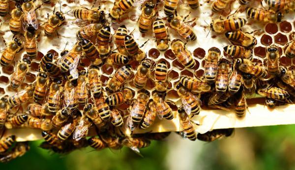 Depuis l'introduction des abeilles mellifères européennes en Chine au 19e siècle, près de 80% de la population indigène d'abeilles domestiques du pays a disparu. (Image via pixabay / CC0 1.0)