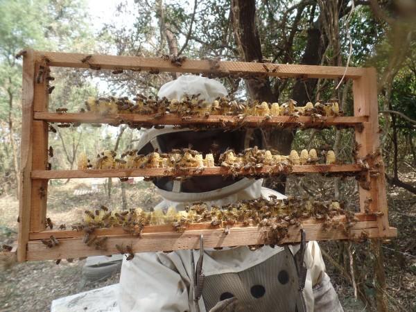 Les abeilles occidentales étaient considérées comme plus loyales envers la reine. (Image via pixabay / CC0 1.0)