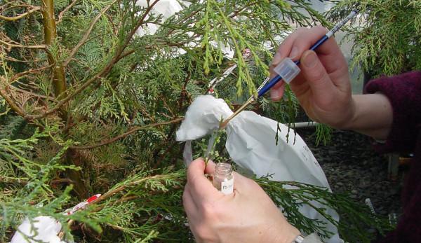 Dans certaines régions de Chine, il s'avère que les agriculteurs pollinisent les fleurs à la main afin de les fertiliser et de produire des fruits. (Image: R6, Foresterie publique et privée, Protection de la santé des forêts via flickr CC0 1.0)