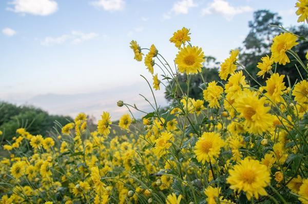 Les chrysanthèmes, dont on pense qu'ils ont des propriétés curatives, sont les fleurs traditionnelles de la Fête du double neuf (Image : Shenyunperformingarts.org)