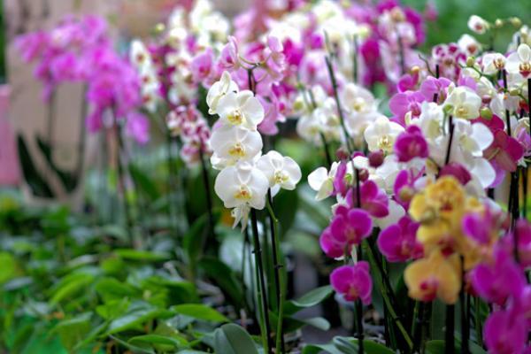 Les orchidées symbolisent la noblesse et l'érudition (Pixabay)