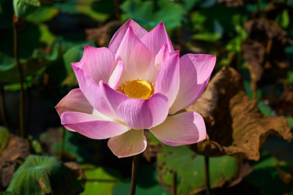 Le symbolisme du lotus est lié au bouddhisme. (Pixabay)