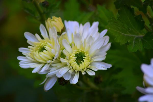 Les chrysanthèmes sont un symbole de retraite paisible et de joie. (Pixabay)