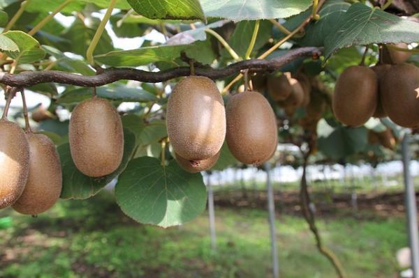 Le kiwi est riche en vitamine C, essentielle pour la prévention du rhume. (Image :idaun/ Pixabay)