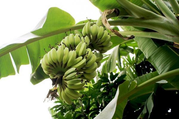 La banane peut faire la différence en terme de santé. (Image :Zhanna Zhuravleva/Pixabay)
