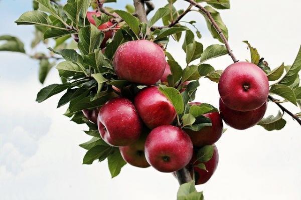 La pomme est riche en zinc, un élément essentiel pour booster la mémoire et développer le cerveau. (Image :S. Hermann & F. Richter/Pixabay)
