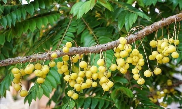 Le longane, de par ses propriétés antioxydantes, stimule l'esprit et accélère le processus de réflexion. (Image :Suanpa/Pixabay)