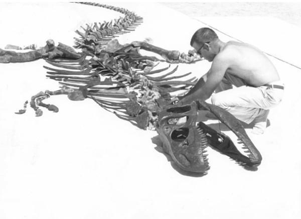 Le paléontologue James Madsen Jr assemble un squelette composite d'allosaurus provenant de la carrière de dinosaures de Clevland Lloyd. (Image: J. Willard Marriot Library)
