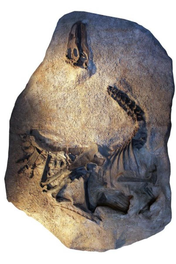 Un moulage du squelette et du crâne d'Allosaurus jimmadseni tel qu'il a été découvert et maintenant exposé au Dinosaur National Monument dans l'Utah. Le squelette original a été moulé et coulé avant d'être démonté et préparé pour l'étude et la recherche. (Image: Dan Chure)