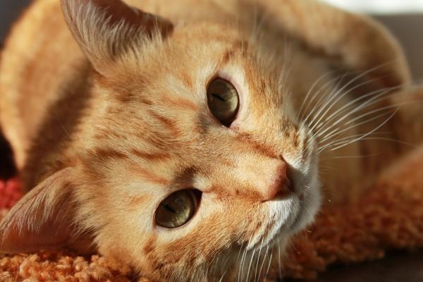 Personne n'est  vraiment en mesure d'expliquer pourquoi les chats ronronnent. (Image: maxpixel / CC0 1.0)