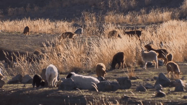 Les nomades ont coutume d'élever des troupeaux d'animaux comme les chèvres. (Capture d'écran / YouTube)