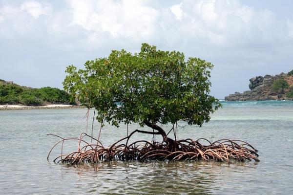 Les mangroves sont actuellement menacées. (Image :Freddie01/Pixabay)