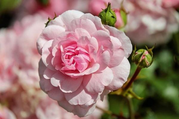 Le renforcement de la mémoire n'est que l'un des avantages potentiels de l'aromathérapie à la rose. (Image :Pixabay)