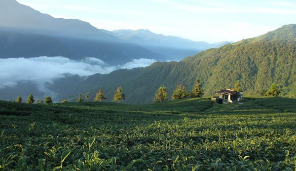 L'industrie du thé à Taiwan a commencé dans les années 1660. (Image : pixabay / CC0 1.0)