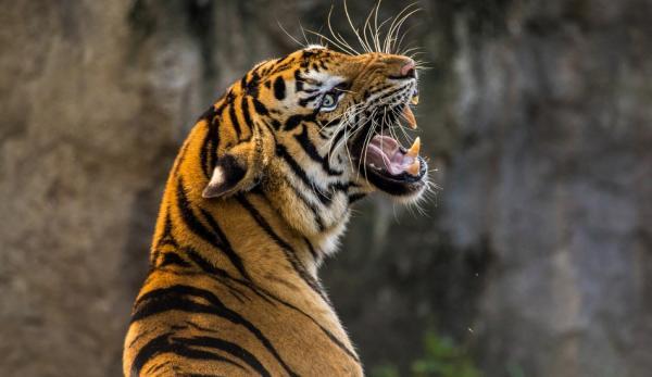 USA : Un tigre du zoo du Bronx de New York serait le premier exemple de transmission du Covid-19 de l'homme à l'animal. (Image :pixabay/CC0 1.0)