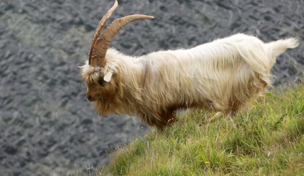 Un troupeau d'environ 120 chèvres cachemires s'aventure dans la ville de villégiature de Llandudno. (Pays de Galles). (Image :ianpreston/flickr/ CC BY 2.0)