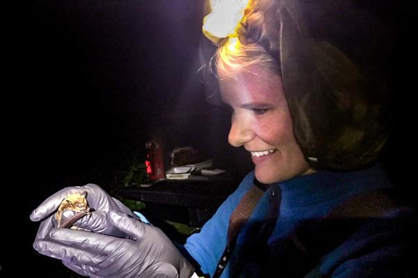 Tara Hohoff, biologiste de la faune sauvage de l'Illinois Natural History Survey, a capturé une chauve-souris au filet japonais pour recueillir des données sur les populations de chauves-souris dans le centre de l'Illinois. (Image : Steve Taylor)