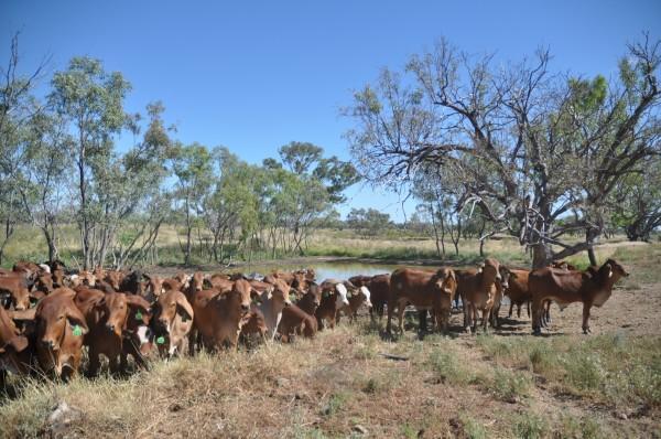 La station d'élevage Yakka Munga, dans le Kimberley, a été rachetée par Zenith, une entreprise chinoise, qui a complètement ignoré l'écosystème et qui, sans permis et sans avoir consulté la communauté locale, a défriché 120 hectares de terres, détournant l'eau de pluie et commençant des travaux d'excavation. (Image :Pixabay/CC0 1.0)