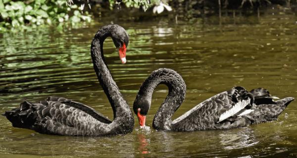 La théorie du cygne noir désigne un événement improbable, dont l'impact sur la société est considérable et qui, considéré avec du recul, aurait pu être prédit et contrôlé. (Image : viapixabay/CC0 1.0)