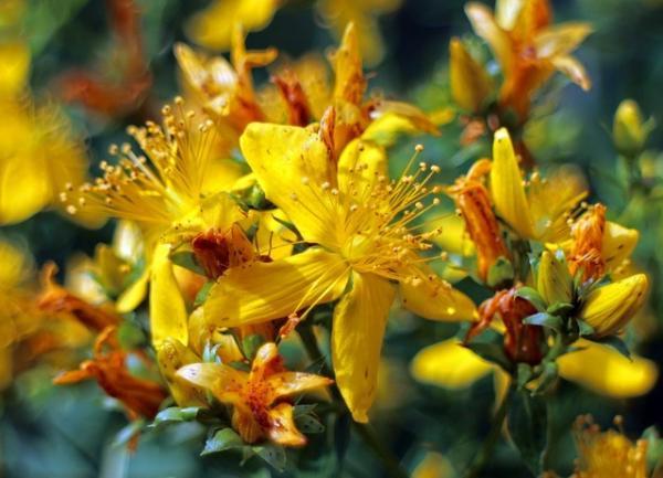 Le millepertuis perforé tient son nom au fait que les pétales des fleurs sont remplies de petits trous.(Image :Manfred Antranias Zimmer/Pixabay)