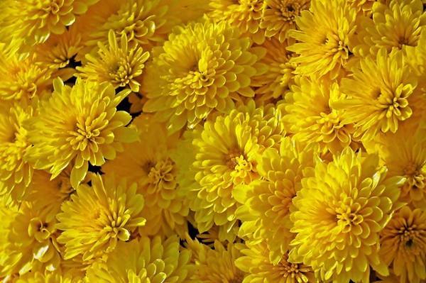 Le chrysanthème favorise la vision et est utilisé pour apaiser les yeux secs et irrités. (Image :MrGajowy3/Pixabay)
