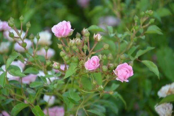 Les boutons de rose sont utilisés en MTC pour réduire les douleurs prémenstruelles. (Image :JacLou DL/Pixabay)