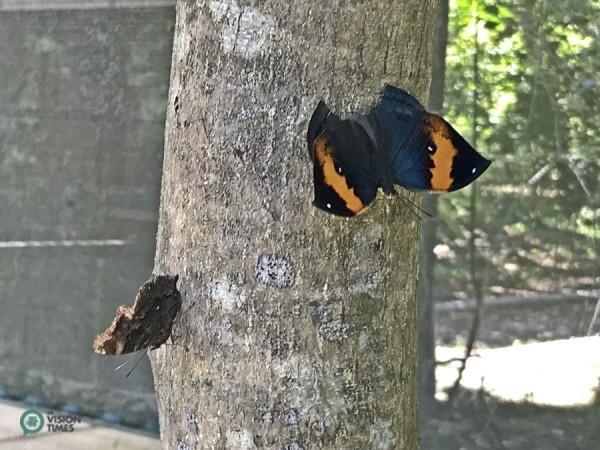 Le Kallima inachus formosana (Fruhstorfer) (枯葉蝶) dans le parc écologique Asia Cement. (Image : Julia Fu / Vision Times)