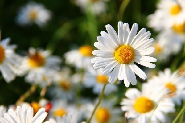 Comptez le nombre de pétales sur une fleur et vous découvrirez qu'ils suivent toujours la suite de Fibonacci. (Image :Klaus Böhm/Pixabay)