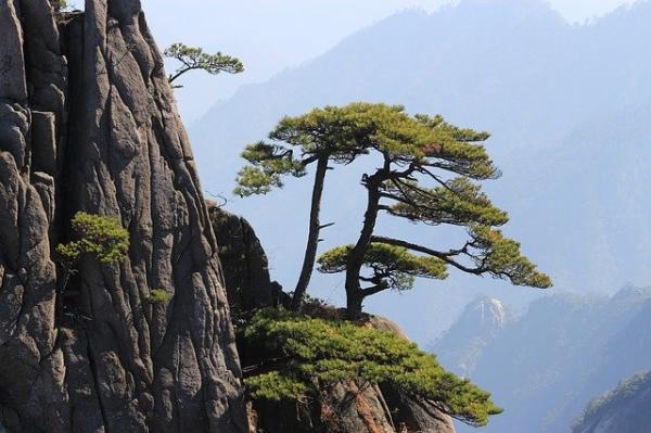 Le pin de la Bienvenue, un arbre millénaire situé sur le pic d'Écran de jade, est âgé de plus de mille ans . IL est majestueux, digne et élégant. (Image : Michael Borgers/Pixabay)