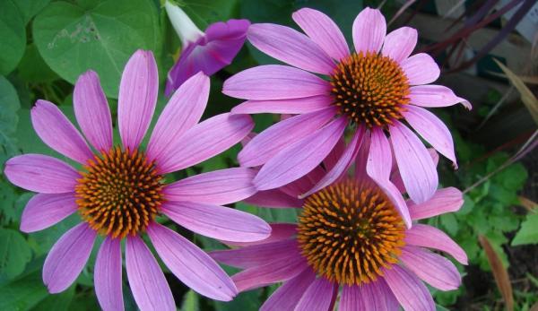 L'échinacée (echinacea) est couramment utilisée dans la médecine populaire amérindienne. (Image :Pixabay/CC0 1.0)