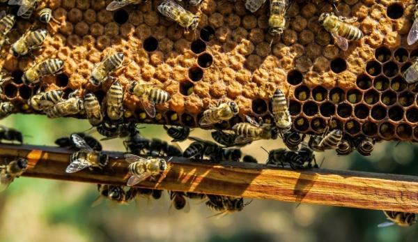 Les abeilles sont des bio-indicateurs de la qualité de l'environnement d'une région, car elles se chargent de tous les polluants, qu'elles finissent par rapporter à la ruche. (Image :pixabay/CC0 1.0)