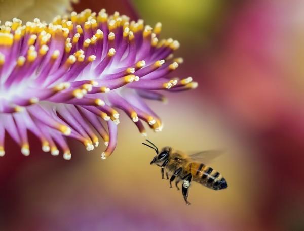 Deux des principaux risques toxiques pour les abeilles proviennent des traitements appliqués par les apiculteurs pour lutter contre un acarien, et l'utilisation à proximité de produits phytopharmaceutiques. (Image :pixabay/CC0 1.0)