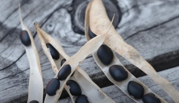 Haricots noirs : détoxifiant et régénérant