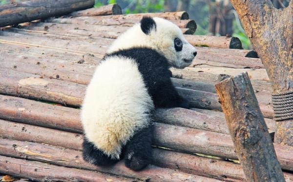 Si vous avez une affinité avec les jolis pandas noirs et blancs, Chengdu est l'endroit idéal pour vous. (Image :pixabay/CC0 1.0)