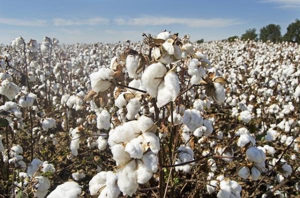 La culture du coton exploite les enfants, utilise des pesticides dangereux et des OGM ruineux. Un coton respectueux de l'environnement est encore très rare. (Image :Jim Black/Pixabay)