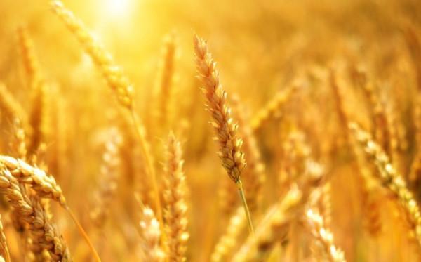 Le riz, le blé et le maïs représentent plus de 50 % des protéines et des calories que nous ingérons, en provenance des plantes. (Image: viapixabay/CC0 1.0)